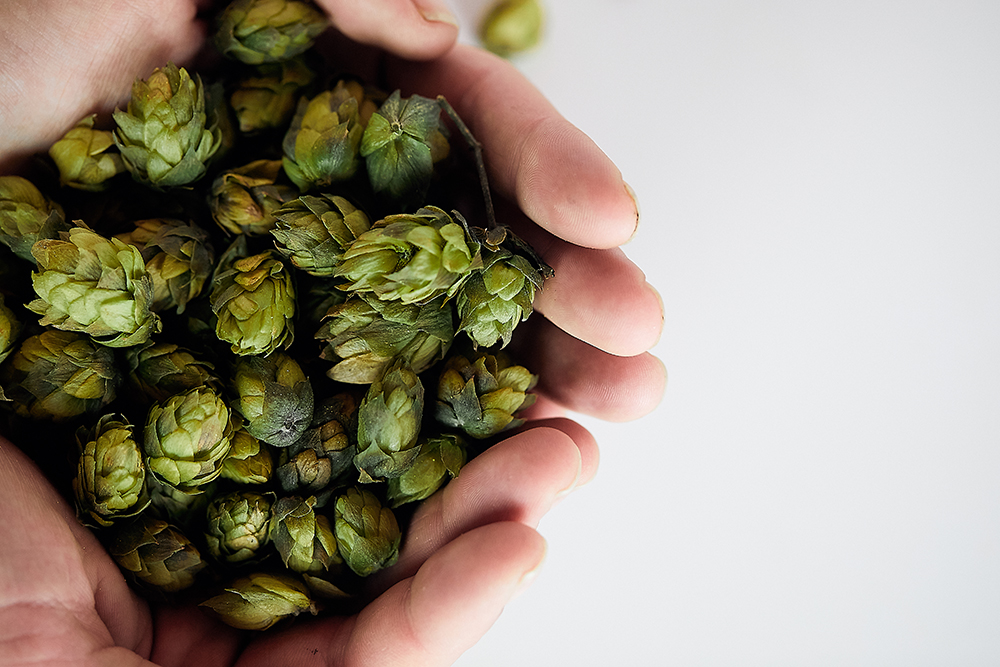 A handful of Mt. Hood hops // Photo by Wing Ta