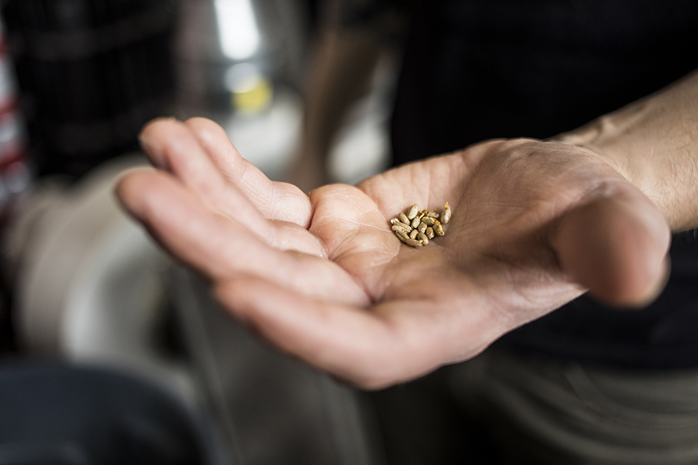 A handful of the seeds Bobby and his crew at Able Brewery and Seedhouse malt on location // Photo by Tj Turner