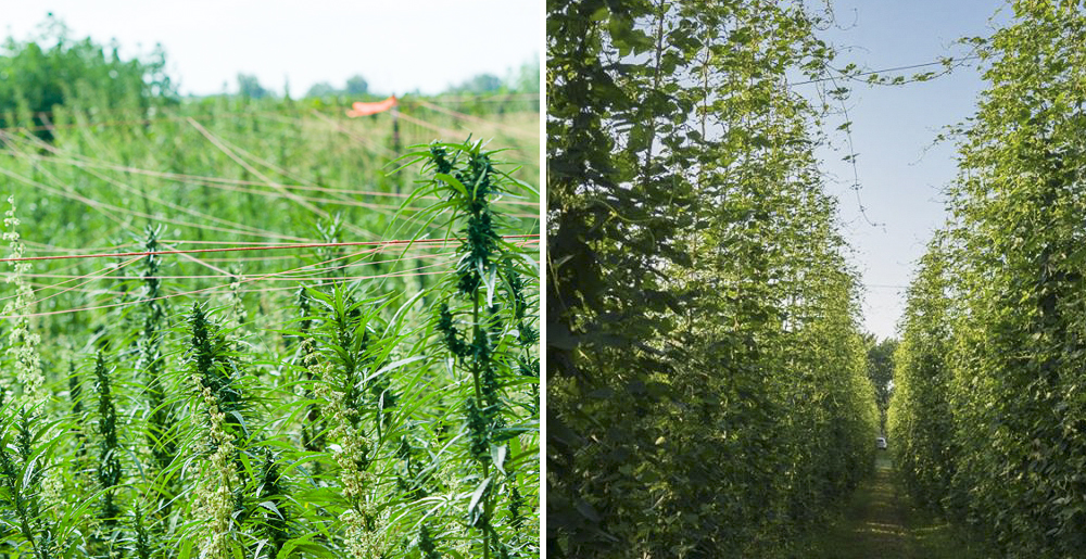 Left: Field of hemp at the the 2016 University of Kentucky Industrial Hemp Field Day // Photo via UK College of Agriculture, Food, & Environment; Right: Hops growing in a hopyard