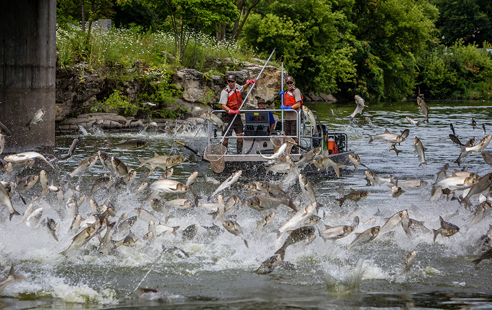 Silver carp jumping in the Fox River in Illinois // Photo courtesy Asian Carp Regional Coordination Comittee