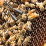 Hive Minds: How bees are inspiring food purveyors, artists, and policy wonks