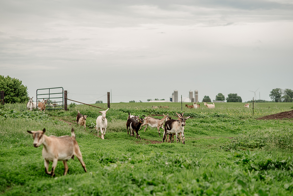 The goats of Capra Nera Creamery roam, eat, and socialize the fields on the farm // Photo by Becca Dilley