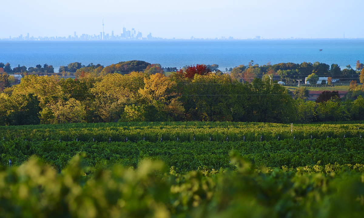 The vineyard of Cave Spring Vineyards in Ontario, Canada, overlooking Lake Ontario with Toronto in the background // Photo courtesy Cave Spring Vineyard