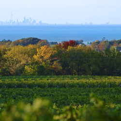 In Ontario, Great Lakes Make Great Wine