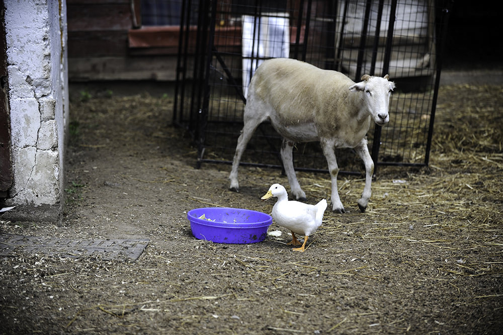 Two of the residents at SoulSpace Farm Sanctuary, a sheep and white duck // Photo by Daniel Murphy