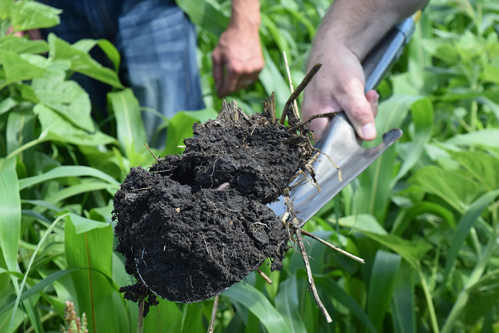 Healthy soil in a corn field // Photo courtesy Sustainable Farming Association
