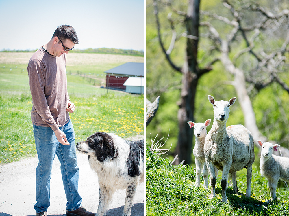 Christian Myrah grazes sheep on his family farm in Spring Grove // Photos by Kevin Kramer, The Growler