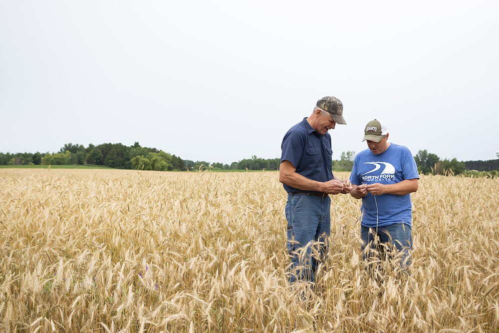 Dale Anderson, left, a farmer from Cambridge, Minnesota, and Rick Schneider, right, of Isanti Spirits examine rye that will later be used to make some of the whiskey at Schneider's distillery // Photo by Aaron Job