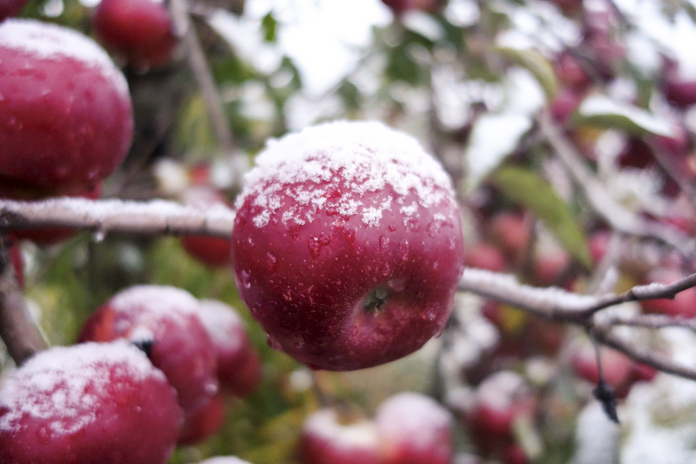 Keepsake apple covered in snow at Sweetland Orchard // Photo courtesy Sweetland Orchard