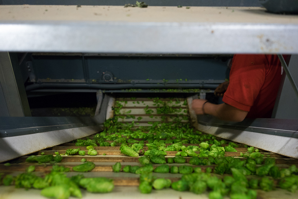 Hops being sorted and processed // Photo courtesy Mighty Axe Hops
