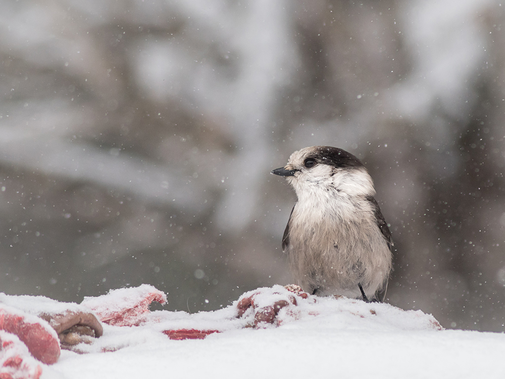 A grey jay, also known as a Canada Jay, or Lumberjack, on a gut pile in the snow // Photo by Tom Hazelton