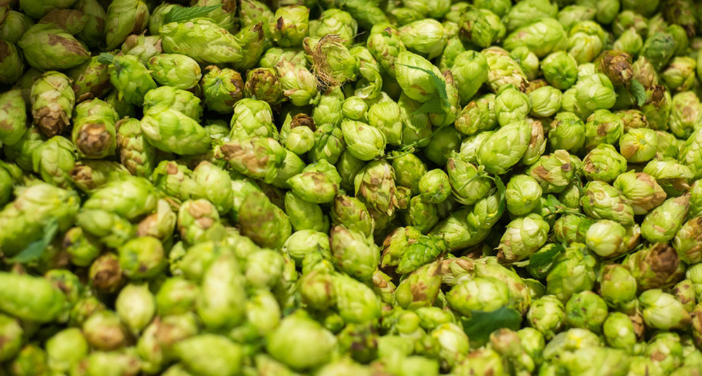 The Mash-Up: Fresh hop season is in full swing and dark