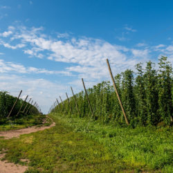 Minnesota's largest hop farm Mighty Axe Hops up for sale