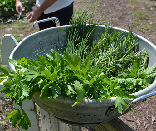 Herbs being harvested