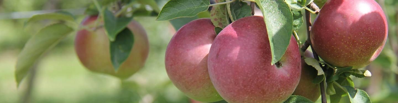 Apples at Royal Oak Farm