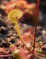 Rosnatka okrouhlolistá (Drosera rotundifolia)