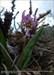 LILIACEAE Erythronium dens-canis(.)[PNPG,C.Candela