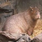 capybaron