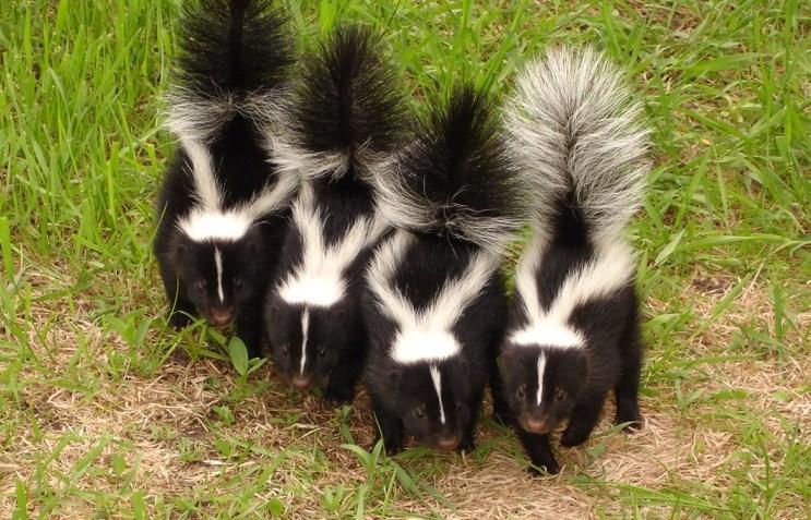Pest Control Santa Barbara County Skunk Animal Control & Live ...