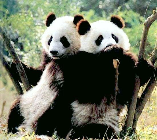 TB2AVVB) Travel Bug Dog Tag Elizabeth the Panda Bear