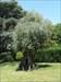 Serralves - oliveira milenar
