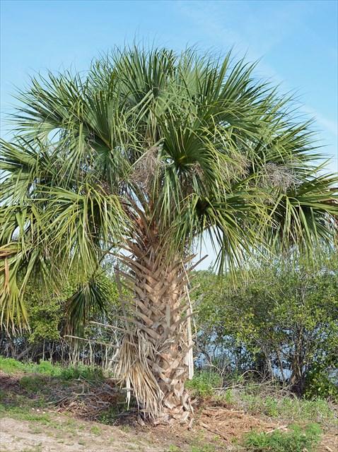 Gc6zej9 Cabbage Palmetto Traditional Cache In Florida