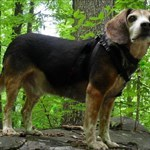 beaglechaser