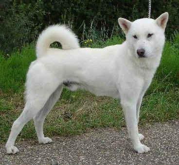 Hokkaido Dog White