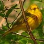 yellow.warbler