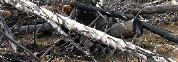 Smetené stromy jako živiny příštího lesa