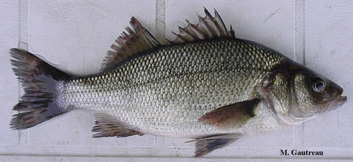 Gc21ekp vt fish white perch traditional cache in for White perch fish