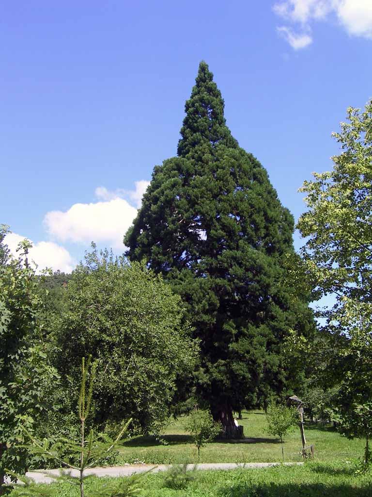 Sekvojovec / Sequoia