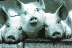 CZ: Poslední fotka prasátek EN: Pigs last picture