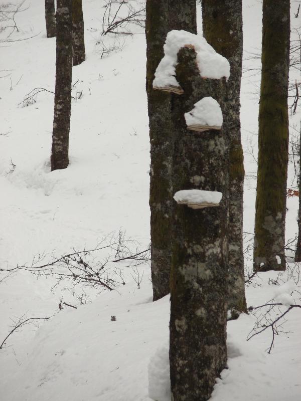 arbre à champignon