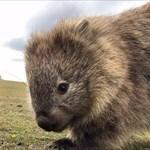 Wombatwandering