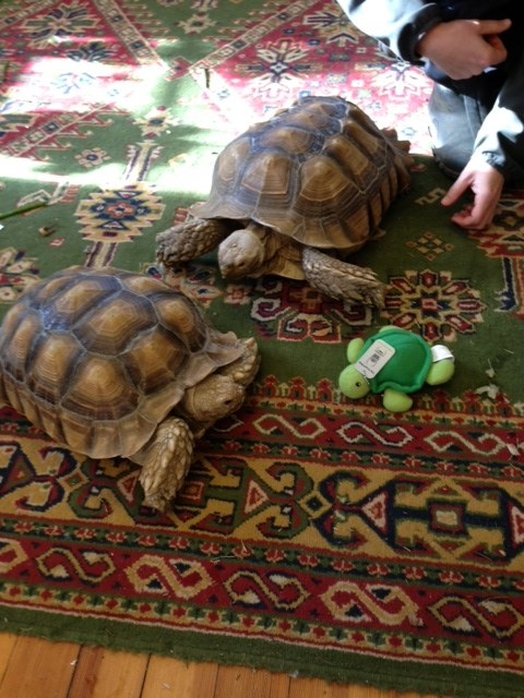 Mollie the Tortoise (Geocache Travelbug) Update - Pratt