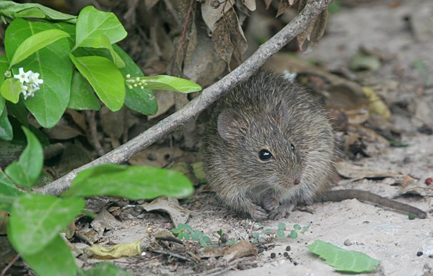 Hispid cotton rat - Wikipedia