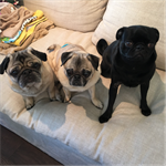 The Hammie Pug Pack