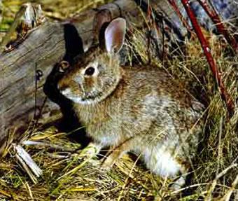 Cottontail rabbit habitat - photo#46