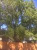 Black Walnut heritage tree