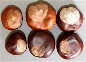 buckeyes&chestnuts1