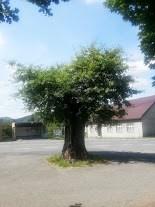 Pranýřový dub