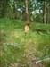 #620 Meliteaea phoebe[.](Núpcias-bater de asas com