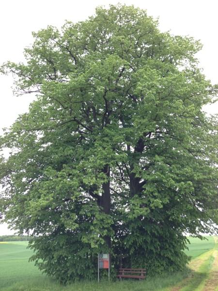 Zwillingsbäume Mannebach, Hunsrück