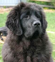 Tibet_dog