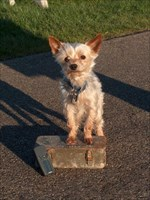 SuperMax the travel bug tag dog