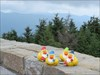 The Gnome Ducks on Mount Mitchell The Gnome Ducks went to the top of Mount Mitchell, the highest mountain east of the Mississippi River.
