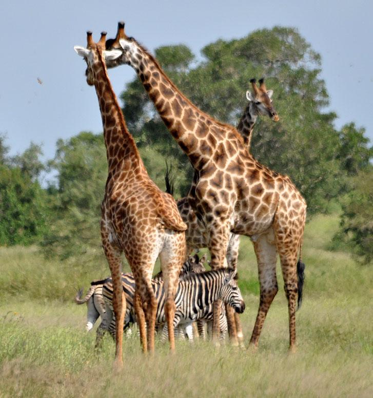 gc3y36x gc zoo african safari giraffe and zebra