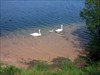 Swans on the mere