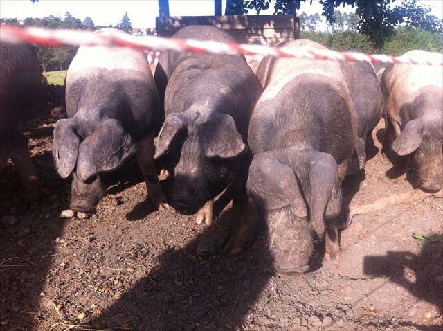 schwäbisch hällisches schwein dosen